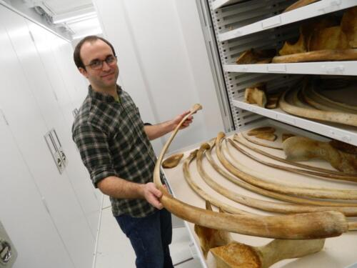 Grad student Collections Assistant David Bullis in the Roosevelt Wild Life Collections at SUNY-ESF with fin whale ribs.Photo submitted by: Rebecca J. Rundell, Head Curator, Roosevelt Wild Life CollectionsSUNY-ESF | State University of New York. (https://www.snailevolution.org/)