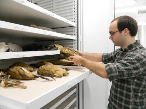 Grad student Collections Assistant David Bullis in the Roosevelt Wild Life Collections at SUNY-ESF with American bitterns.  Photo submitted by: Rebecca J. Rundell, Head Curator, Roosevelt Wild Life CollectionsSUNY-ESF | State University of New York. (https://www.snailevolution.org/)