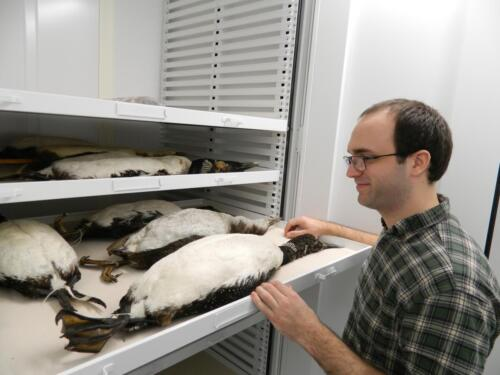 Grad student Collections Assistant David Bullis in the Roosevelt Wild Life Collections at SUNY-ESF with loons.Photo submitted by: Rebecca J. Rundell, Head Curator, Roosevelt Wild Life CollectionsSUNY-ESF | State University of New York. (https://www.snailevolution.org/)